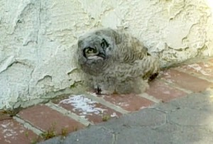 BABY OWL 1